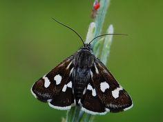 https://flic.kr/p/a41CsC | Moth - Eurrhypis pollinalis | Pimeirô - Serra de Montemuro Portugal