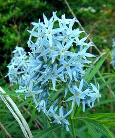 Amsonia Arkansas Blue Star - Add a splash of calming color to your flowerbeds with these brilliant Arkansas Blue Stars that boast eye-catching blooms and willow-like foliage. - Grows to 3' H - Spread: 3' W - Perennial - Bloom period: late spring to early summer - Full to part sun - Hardiness zones: 4-9 -