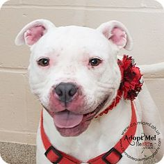 8/21/15 STILL THERE!!! please save this beauty!! VERY URGENT! LONGEST SHELTER RESIDENT! Troy, OH - Pit Bull Terrier Mix. Meet Stella, a dog for adoption. http://www.adoptapet.com/pet/13334468-troy-ohio-pit-bull-terrier-mix