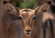 Impala portrait by © AnyMotion, via Flickr.com
