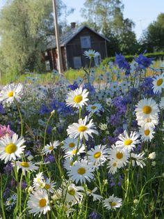 Tienreunakukkia, Finland - Miina Li - meadow of flowers Pretty Flowers, Wild Flowers, June Flower, Daisy, Summer Dream, Summer Time, Amazing Nature, Country Life, Fields