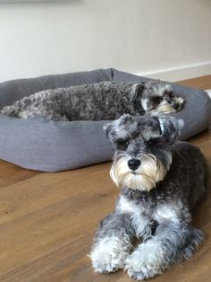 Miniature Puppies, Miniature Schnauzer, Animals And Pets, Baby Animals, Cute Animals, Cute Animal Pictures, Dog Pictures, I Love Dogs, Cute Dogs