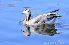 The wild goose, the beautiful plumage, it freely on the lake in the wandering, very cute.