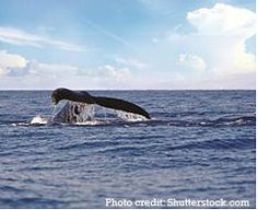 Catch the Tail of Whale Watching Season at Outrigger Condominiums on Maui