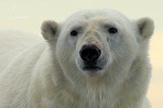 Medvěd lední (Ursus maritimus) Polar Bear