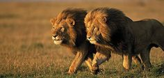 This short but thorough lion facts hub is an investigation into the most popular of Big Cats, the lion. King of beasts and lauded in lore and legend, this African wild cat catches the imagination. Lion Facts, Cat Facts, African Wild Cat, Lion Kingdom, Animal Kingdom, World Lion Day, Lions Photos, Lion Pictures, Elephant Pictures