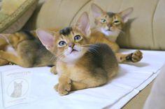 Ragdoll Cat Breed, Birman Cat, Aggressive Animals, American Shorthair Cat, Abyssinian, Cat Behavior, Maine Coon Cats, Cat Health, Pet Store