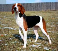 Zoey is an adoptable Foxhound Dog in West Chester, OH. Zoey is a BEAUTIFUL FOXHOUND. She is spayed, UTD on vaccines, and MICROCHIPPED! She is approximately two years old, and about 40lbs. Zoey needs t...