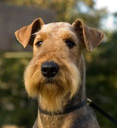 Эрдельтерьер / Airedale Terrier