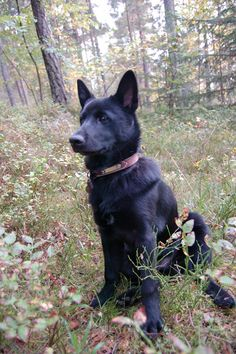The Black Norwegian Elkhound was bred in ancient Norway for elk hunting.  Even today it is rarely seen outside Scandinavia.  The Black Norwegian is comfortable in urban environments and handles cold well, but it requires frequent grooming, is quarrelsome during training, and needs lots of exercise.