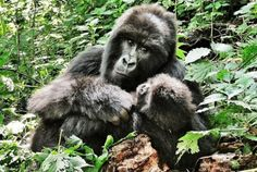 Gorilla Trekking in the Democratic Republic of Congo >>>This has been on my bucket list ever since I can remember - Has anyone ever done this? I would love to hear about it in the comments!
