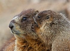 Yellow-bellied marmot mother and baby.