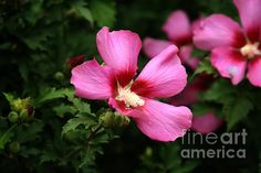 Rose Of Sharon Hibiscus Photograph by Margaret Newcomb - Rose Of Sharon Hibiscus Fine Art Prints and Posters for Sale