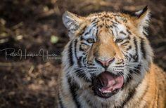 Amur-Tiger  by PHOTOPHH.1