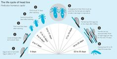 The Life Cycle of Head lice..First line of attack is cheap conditioner applied generously to the head followed by combing with a nit comb. Repeat every other day until no eggs or louse are found.