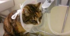 Het maakt niet uit wie hem draagt, ieder huisdier heeft een hekel aan de honden- of kattenkraag na een operatie. lees meer...