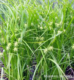 Carex grayi - Gray's Sedge: Z2, light shade, in sun needs ample moisture, water to root depth when soil starts to dry, native to eastern USA - wet spring meadows