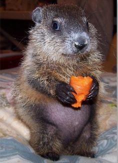 Baby groundhog!