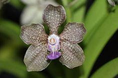 Rich Vanda Orchid Images, Orchids, Plants, Plant, Planets, Orchid