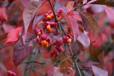Euonymus europaeus 'Red Cascade',  Spindle 'Red Cascade', shrubs, fall color, shrub with berries, red leaves