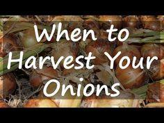 When to Harvest Onions - Stoney Acres