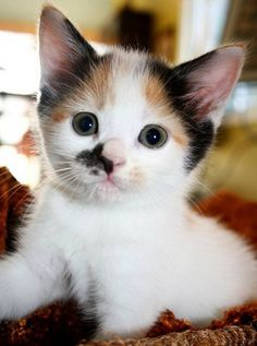 *♥* Cute calico kitten!