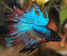 Crowntail Betta Photo by Ampullaria | Photobucket