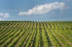 Conduite de la vigne » Le bois raméal fragmenté rend l´irrigation inutile