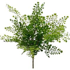 Maidenhair Medium Green