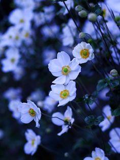 秋明菊しゅうめいぎく Japanese anemone (Anemone hupehensis var. japonica)