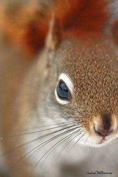 Coucou l'ecureuil roux by Andre Villeneuve, via 500px