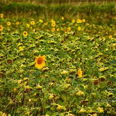Sun Flower Field  Also available as: apparel, cases and skins, wall art, bags, stationery, throw pillows, mugs and leggings