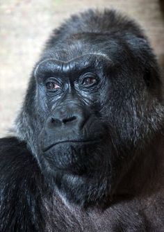 Colo. First gorilla born in captivity, and possibly the oldest gorilla anywhere! Born in & lives at the Columbus Zoo. Grand Lady. She's our Queen at zoo