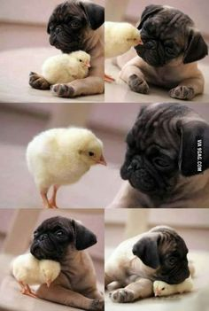 Srs funny cute baby animals, funny animals, cute animals puppies, animals and pets Cute Animals Puppies, Pug Puppies, Cute Baby Animals, Animals And Pets, Cute Dogs, Funny Animals, Cute Baby Pugs, Funny Dogs, Pet Pug