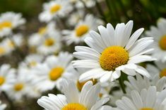 The cheerful shasta daisy is a classic perennial. It looks similar to the familiar roadside daisy but has larger and more robust blooms. Are these beauties popping up in your garden?