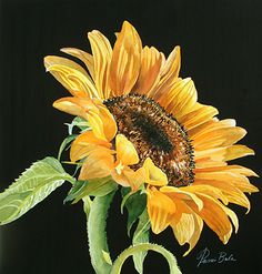 14-24 Sunflower to the East by Tanis Bula Watercolor ~  x