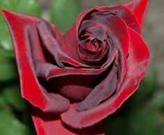 I want to try Papa Meilland, which is being billed as Worlds Most Fragrant Red Hybrid Tea Rose
