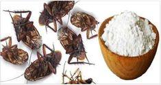 Gli scarafaggi sono quasi ovunque sul pianeta. Oltre che disgustosi, essi rappresentano una grave minaccia per la salute, trasmettendo diverse malattie. Le gambe di questo insetto portano microrganismi pericolosi che diffondono diarrea, infezioni intestinali, epatite ed altre malattie. Essi possono anche causare reazioni allergiche e quel che è peggio, in caso di contatto con gli alimenti, i batteri vengono convogliati una volta che si conservano. Questi batteri sono resistenti al calore e…