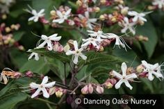 Clerodendron trichotomum - Glory Bower - Fragrant Shrubs & Trees - Dancing Oaks Nursery #gardening #fragrant