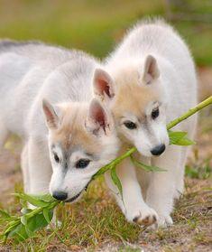 Wonderful All About The Siberian Husky Ideas. Prodigious All About The Siberian Husky Ideas. White Siberian Husky, Siberian Huskies, I Love Dogs, Cute Dogs, Alaskan Husky, Alaskan Malamute, Snow Dogs, Husky Puppy, Pomeranian Puppy