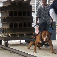Pitbull Puppy Weightpulling Training Weightpull Harness Weight Sled