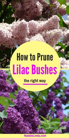 flower garden care Learn how to prune lilac bushes the right way so that they retain their beautiful shape and produce beautiful blooms every Spring! Beautiful Flowers Garden, Beautiful Gardens, Gardening For Beginners, Gardening Tips, Gardening Courses, Gardening Websites, Gardening Magazines, Gardening Zones, Gardening Vegetables