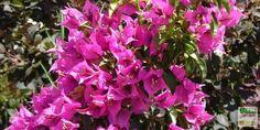 En fin d'hiver ou au début du printemps, les bougainvilliers apprécient un apport d'engrais pour préparer leur superbe floraison estivale. Comment entretenir ces belles méditerranéennes ? http://www.jardipartage.fr/entretien-bougainvillier/