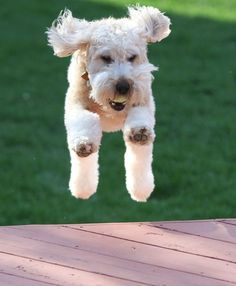 Clancy, a 2-year-old Soft Coat Irish Wheaton Terrier jumps for joy