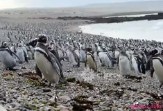 About a million penguins live on the Patagonian coast, in the Punta Tombo reserve, 180 kilometers from Puerto… by testarasta Atlantic Ocean, Pacific Ocean, Reserva Natural, Iguazu Falls, Sea Birds, Sea Level, The Province, Unique Image, World's Biggest