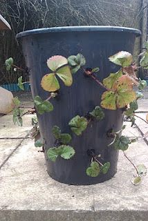 Make a very cheap strawberry planter with two buckets and a drill bit.  Don't forget to stack buckets and plant in top of each.  :)