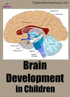 brain development in children. Understand how they learn, what they learn when, and how to help them learn! #homeschool