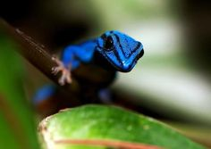Lygodactylus williamsi, commonly known as William's Dwarf Gecko or the Electric Blue Gecko, was first discovered by biologist William in the 1950s.    Found in the Kimboza Forest in eastern Tanzania. This tropical forest habitat is rapidly shrinking due to deforestation.  Lygodactylus williamsi - Wikipedia, the free encyclopedia
