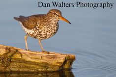 Spotted sandpiper. Colorado