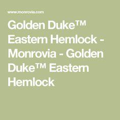 Golden Duke™ Eastern Hemlock - Monrovia - Golden Duke™ Eastern Hemlock